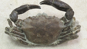 Fossil crab