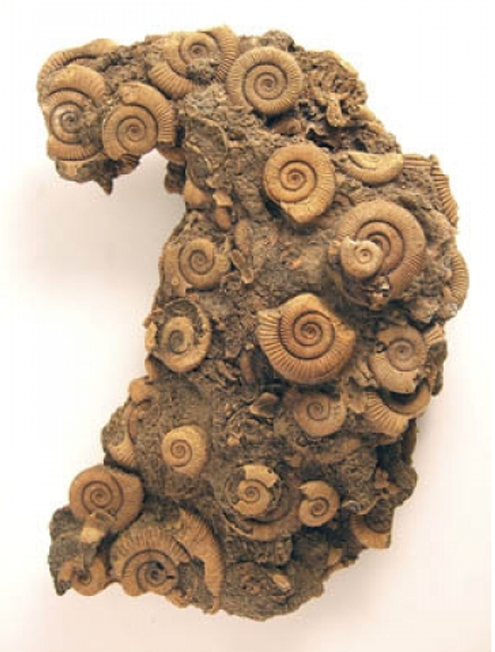 Fossils: Dactilioceras Ammonite Group, Germany