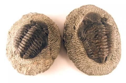 Fossils - Trilobites