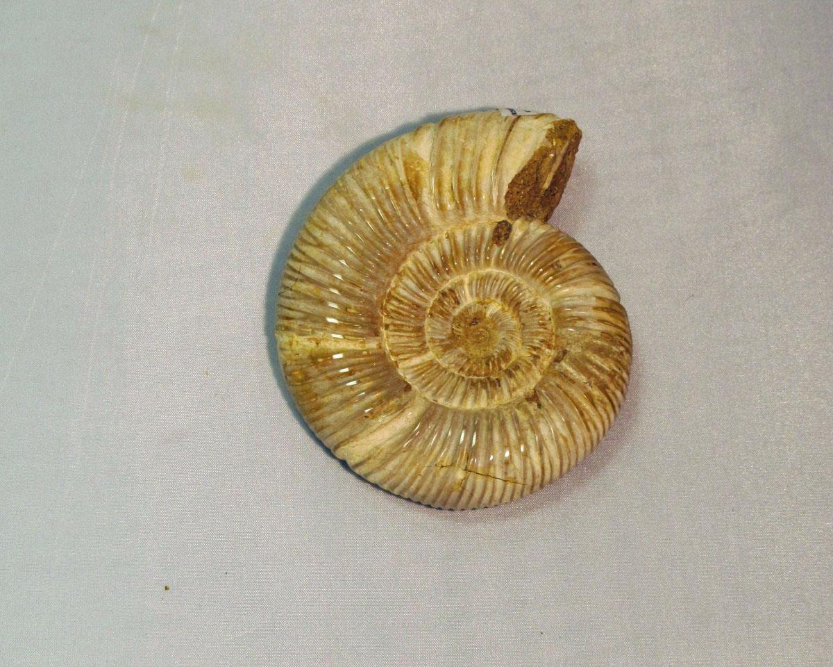 Fossils: Perisphinctes Ammonite
