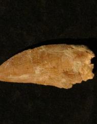 Carcharadontosaurus Tooth