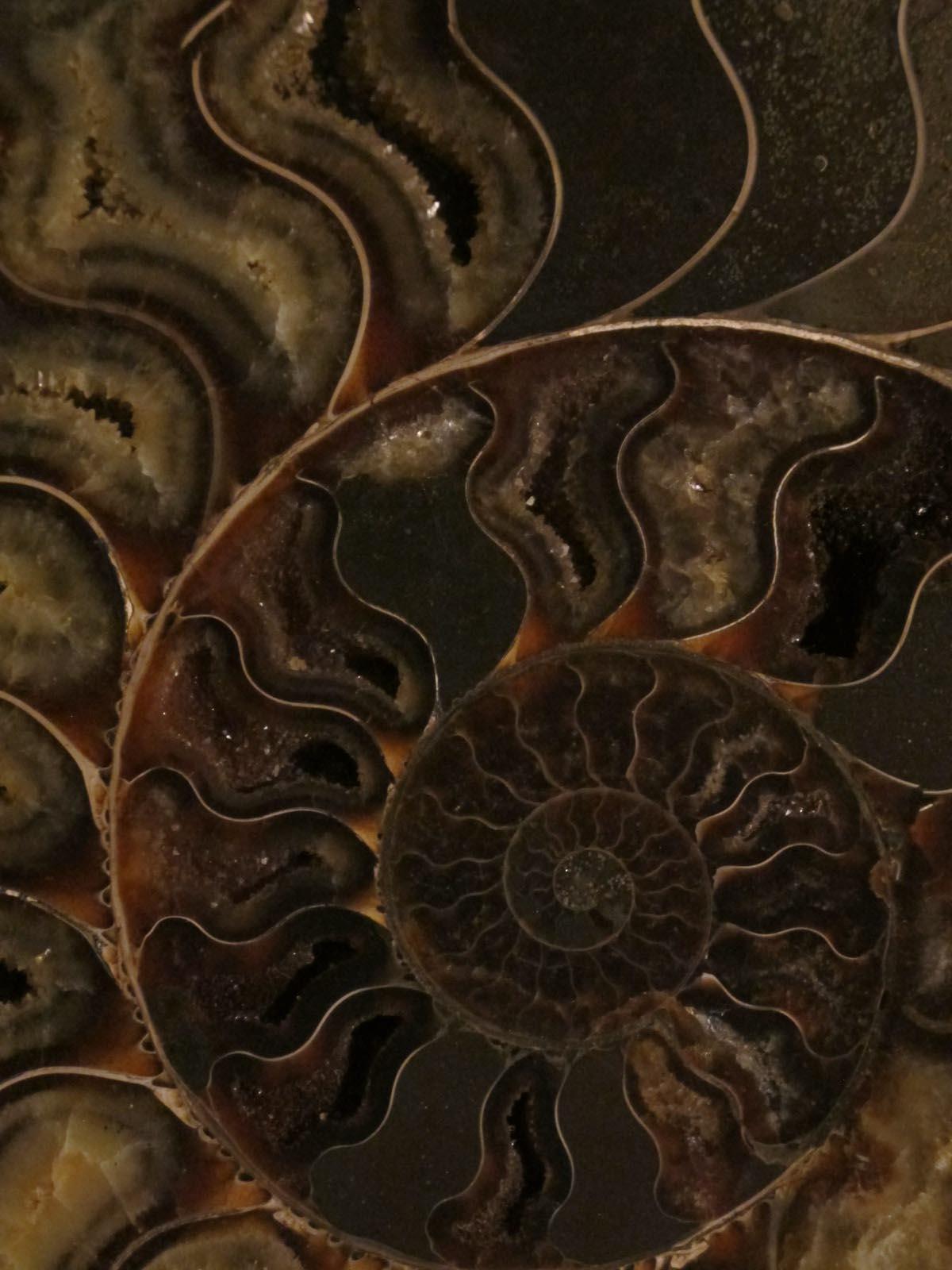 Fossils: Cleoniceras Ammonite, Madagascar