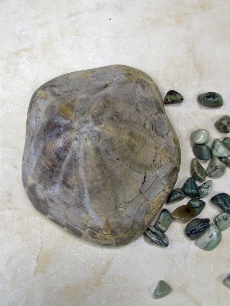 clypeaster fossilised sea urchin