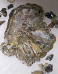 fossils: rhexolylan seed fern