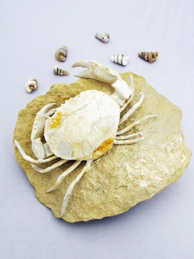 fossil crab harpacto cacinus