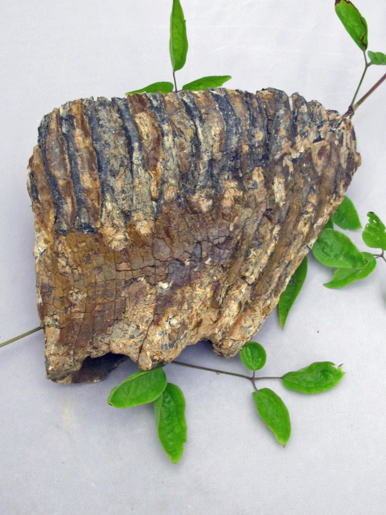 fossil mammoth tooth 2