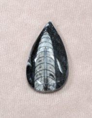 Moroccan fossils: Orthoceras