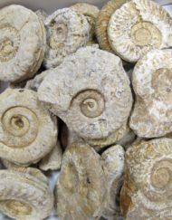 school fundraising: somerset ammonites