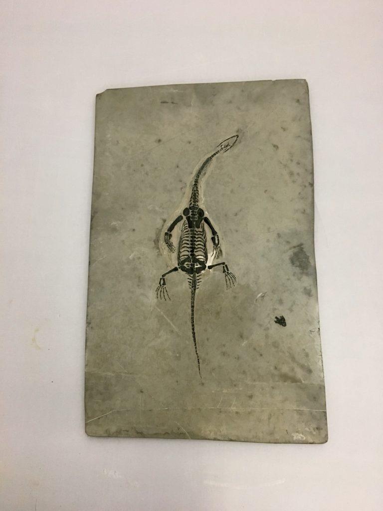 Fossil Keichosaur