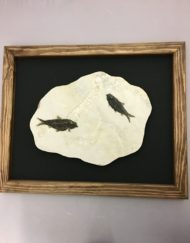 Framed Fossil Fish
