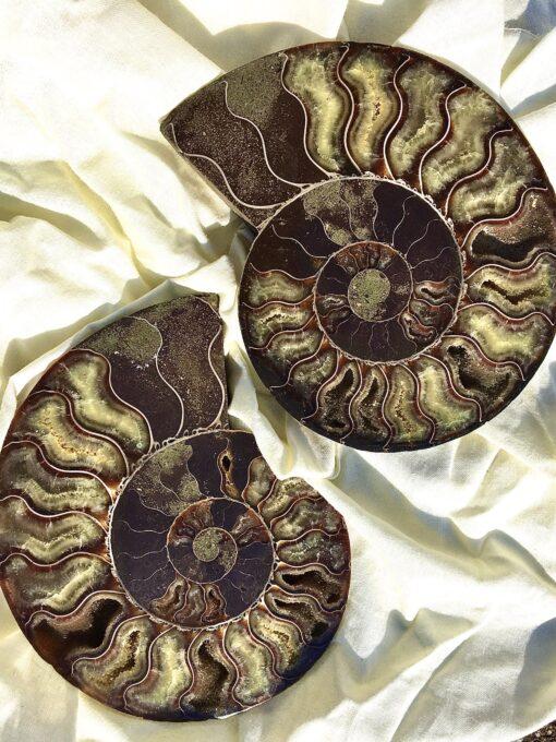 Cleoniceras Ammonite Pair