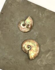 decorative Ammonites Mounted on Slate