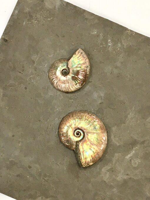 decorative Ammonites Mounted on Slate
