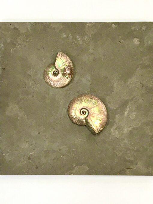 Cleoniceras Ammonites Mounted on Slate
