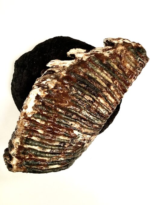 Mammoth tooth side view