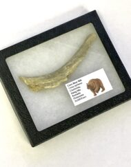 Fossilised Cave Bear Rib