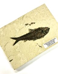 Fossil Fish Plaque