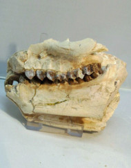 Partial Jaw Oreodont