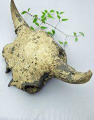 fossil bison skull