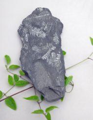 Fossil Plant Fern Alephopteris